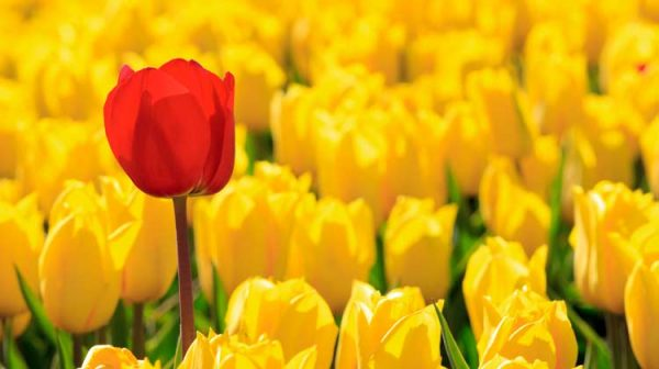 one-red-tulip-in-field-of-yellow-tulips