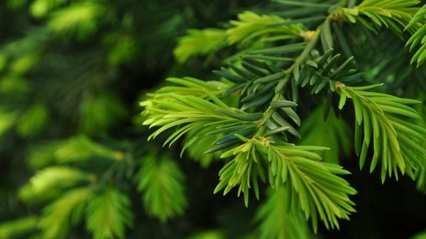 pine-tree-wallpaper-9